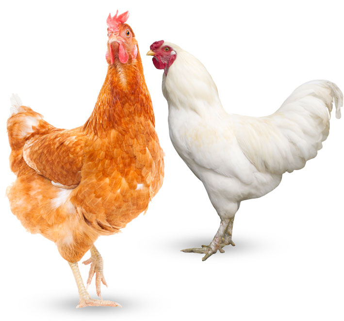 Learn more about hen care straight from the egg farming experts.
